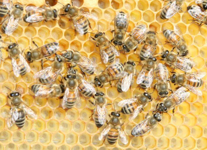 méhpempő_
