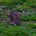 A patkányfogó kihelyezése már az első gyanús pillanatban szükséges