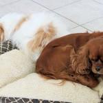 Royal Canin Mini Junior a kistermetű kölyökkutyáknak